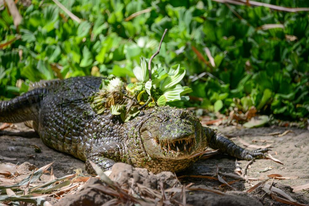 Kachikally Crocodile Pool Gambia