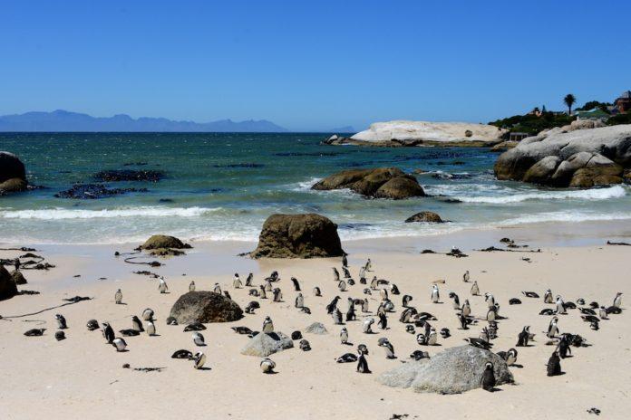 Pinguïns in Afrika bij Boulders Beach