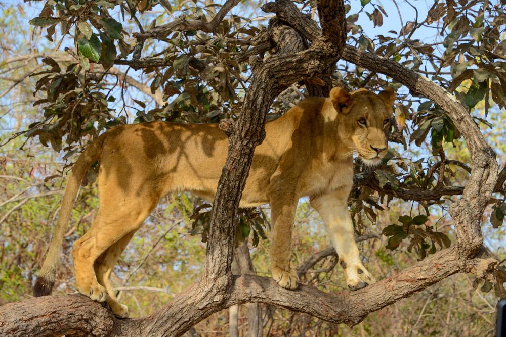 Leeuw in Fathala Senegal