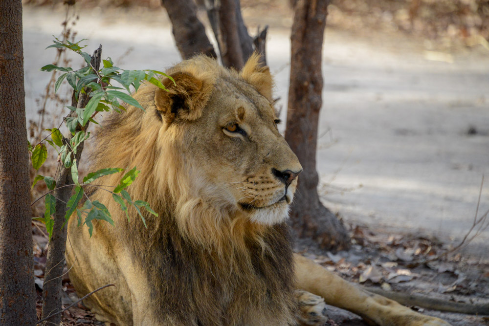 Leeuwen in Fathala Senegal