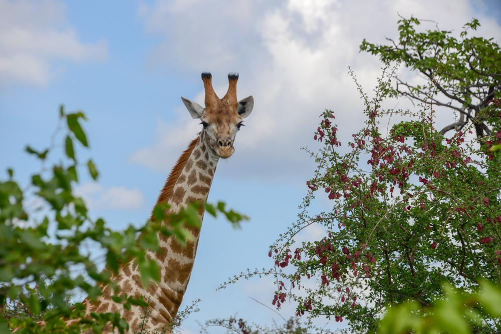Nationaal park Mapungubwe in Zuid Afrika
