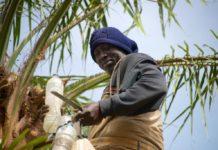 Palm Wine Niafrang Casamance Senegal