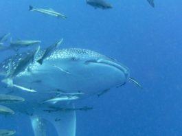 Walvishaai Tofo Mozambique