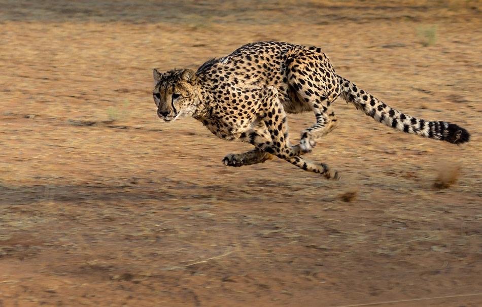 Cheeta Kalahari Botswana