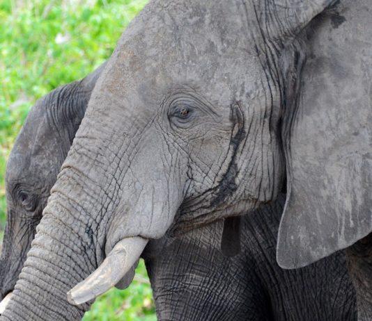 olifanten Chobe Botswana