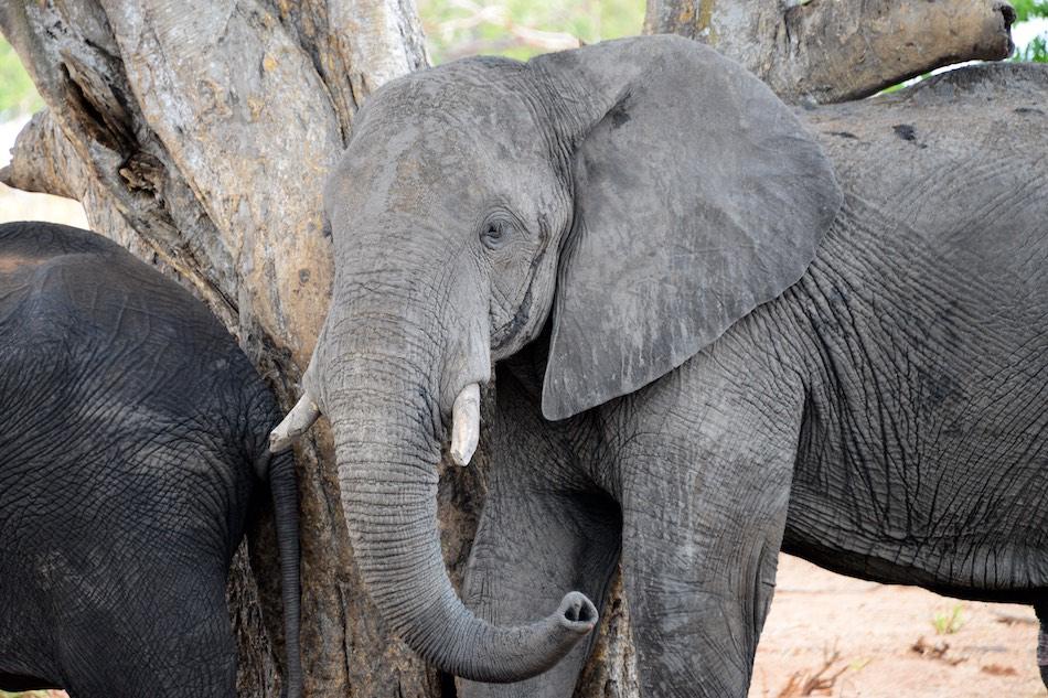 olifant Chobe Botswana