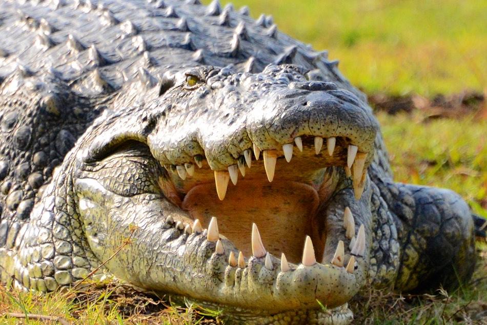 Krokodil Chobe rivier Botswana