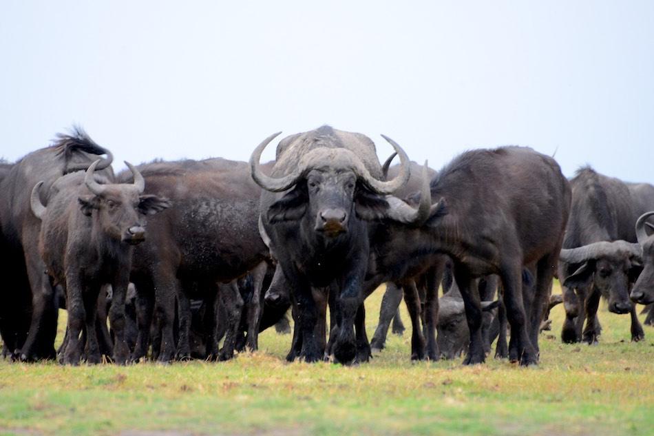 Buffels Chobe Botswana