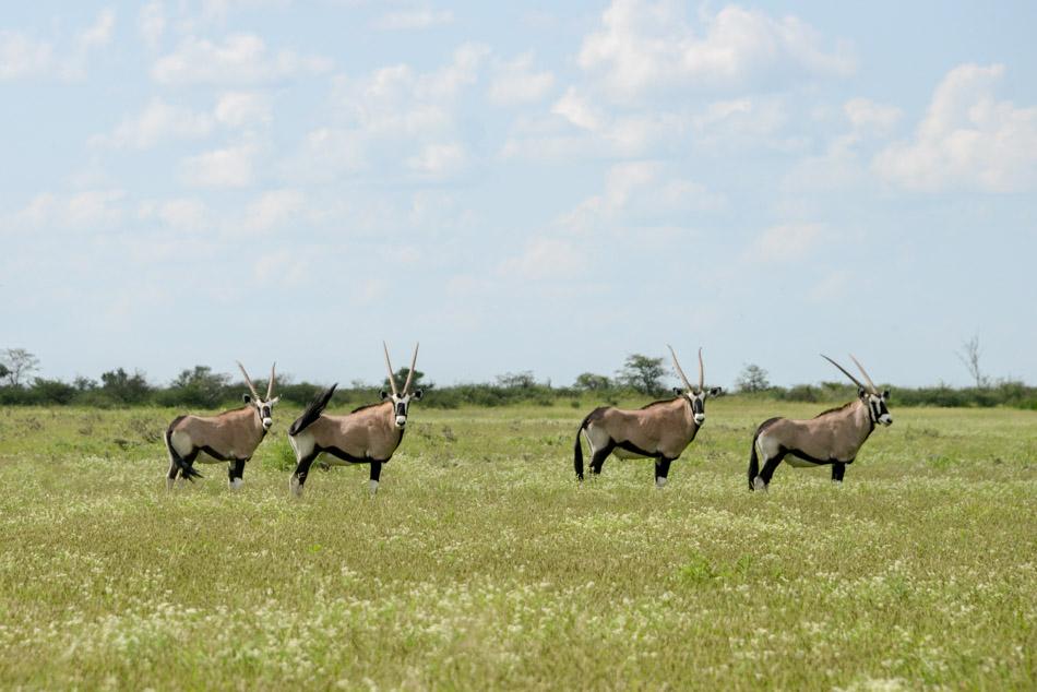 Gemsbokken Khutse Botswana