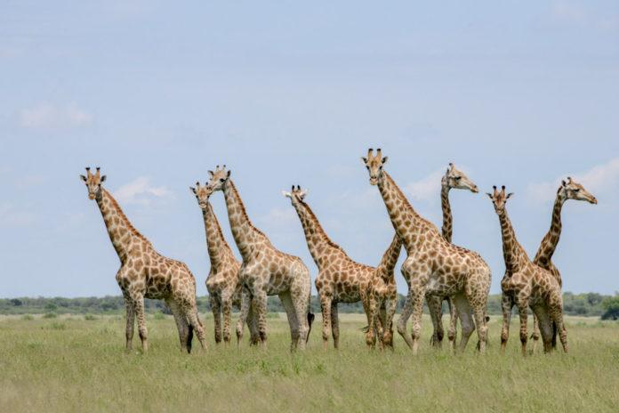 Giraffen in Khutse Botswana
