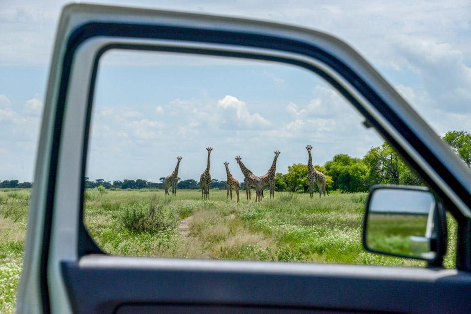 Giraffes Khutse Botswana