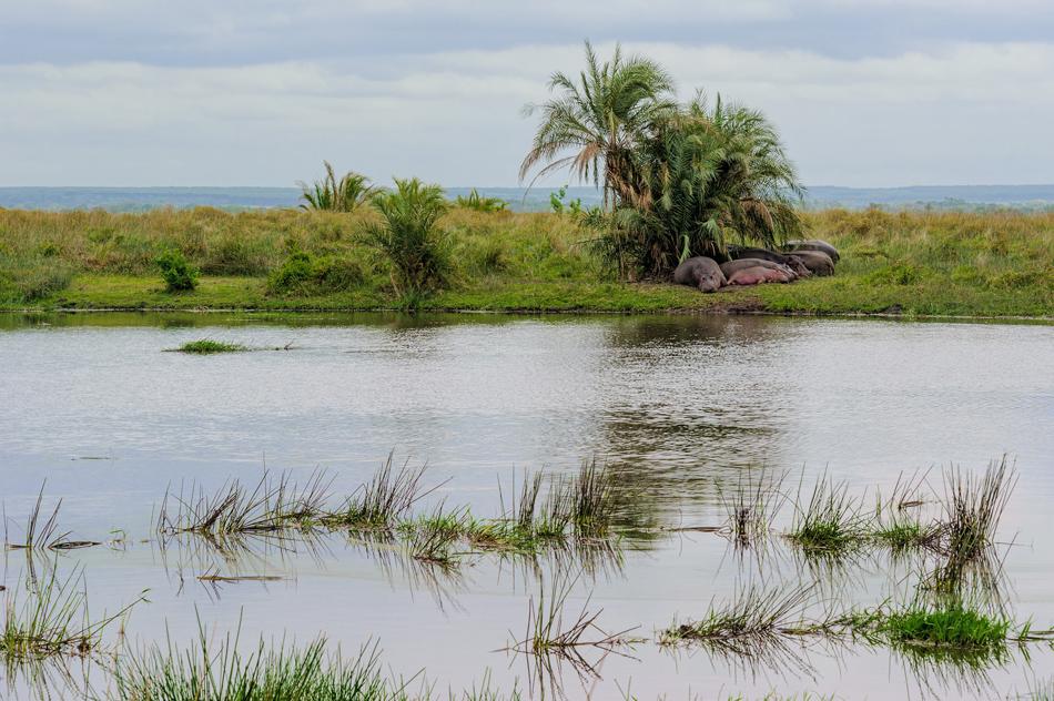 Isimangaliso nijlpaarden Zuid-Afrika