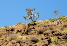 Kokerboom Richtersveld Zuid-Afrika