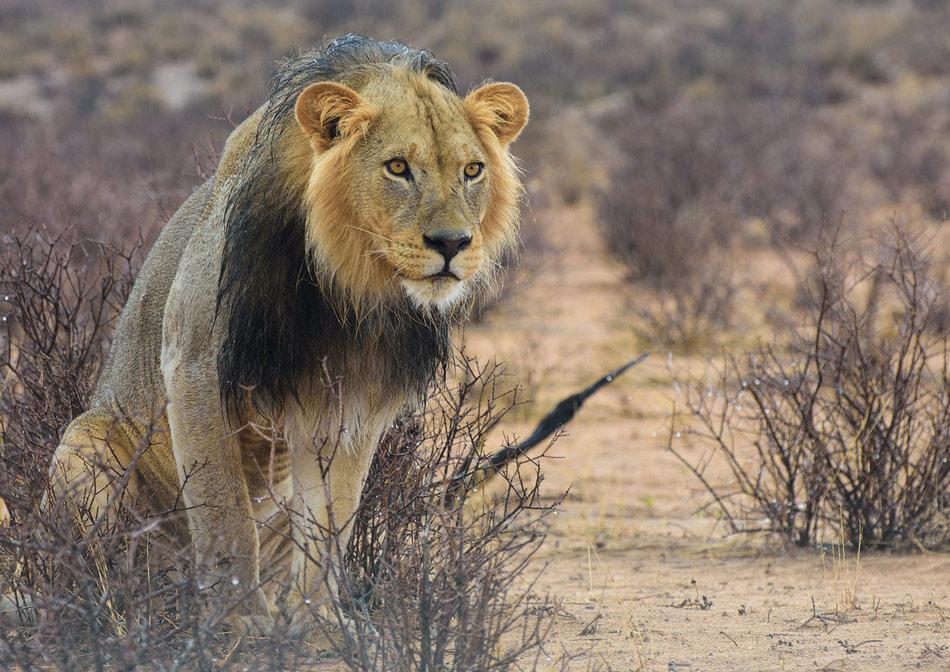 Leeuw Kalahari Botswana