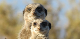 Meerkat Kalahari Botswana