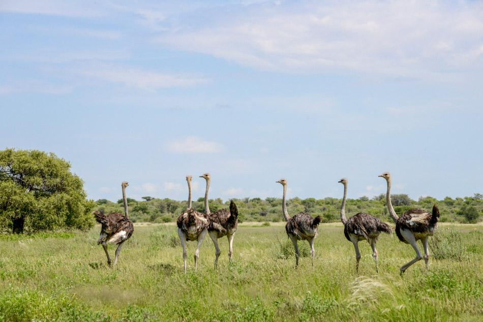 Ooievaars Khutse Botswana