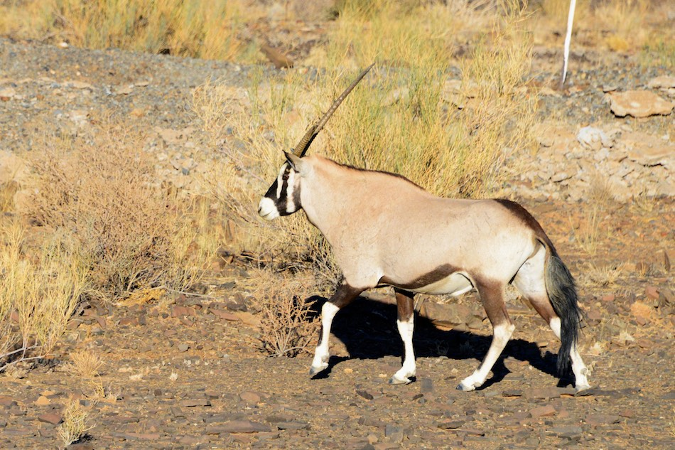 Gemsbok Richtersveld Zuid Afrika