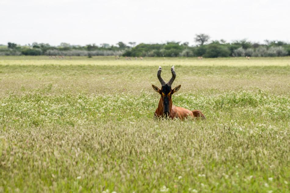 safari Khutse Botswana