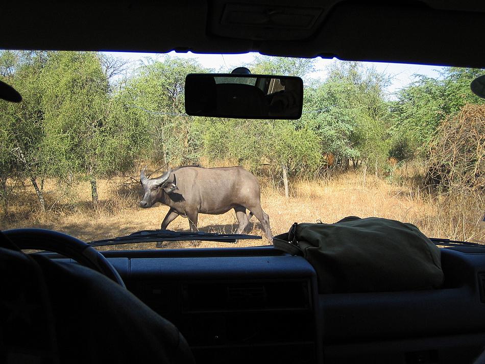 Buffel Bandia Senegal