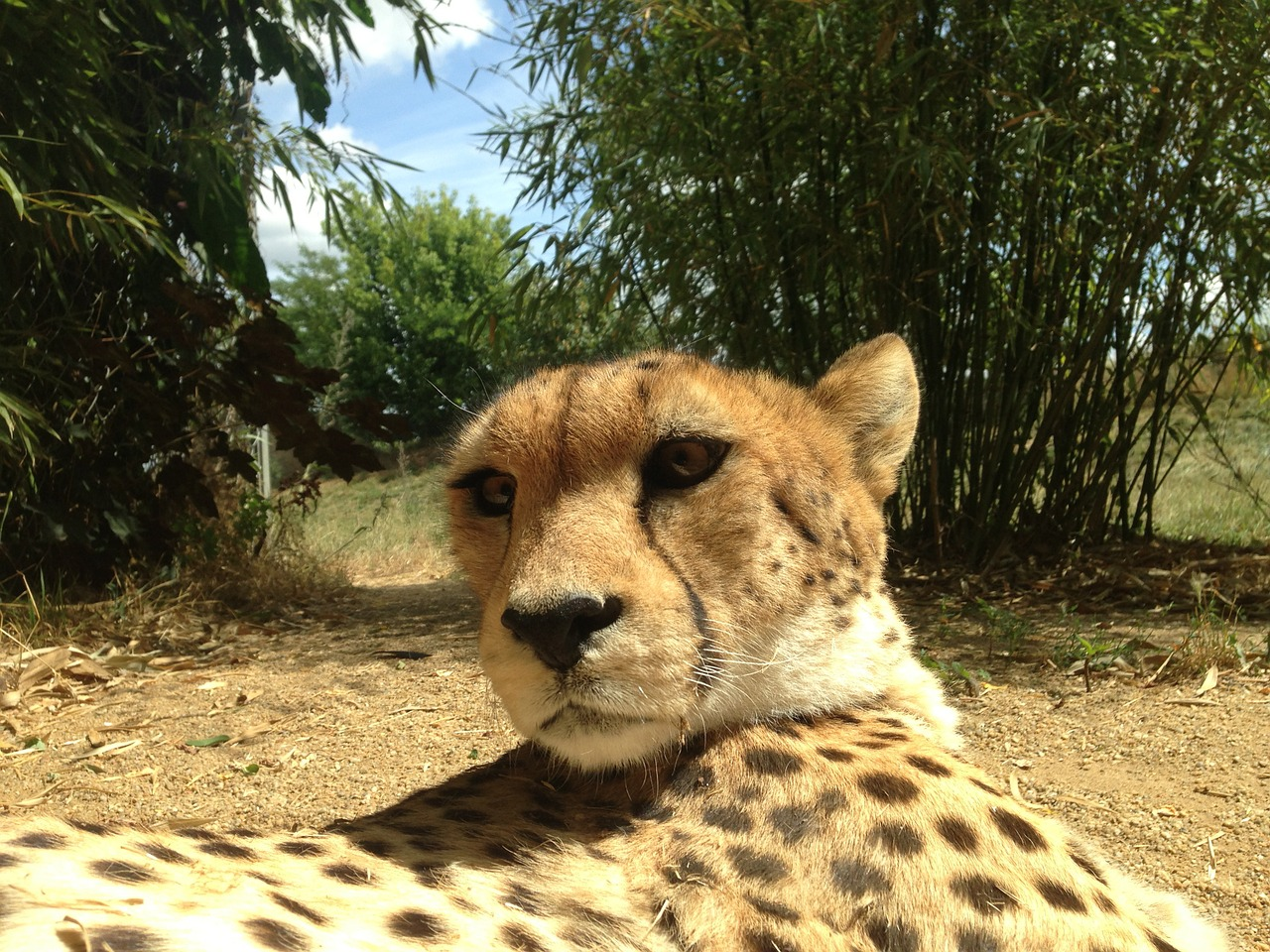 Cheeta Mokolodi Botswana