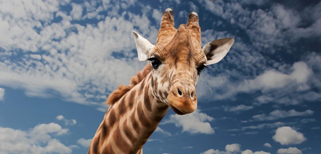 Giraffe Mokolodi Botswana