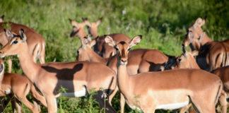 Impala Pilanesberg Zuid Afrika