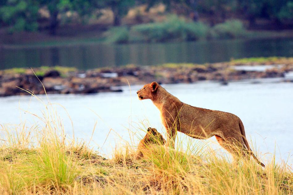 Leeuw Lake Kariba Zimbabwe