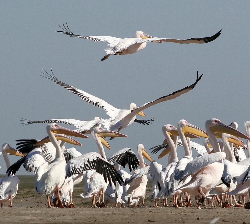 Pelikanen Banc D' Arguin mauritanië