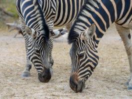 Zebra Bandia Senegal