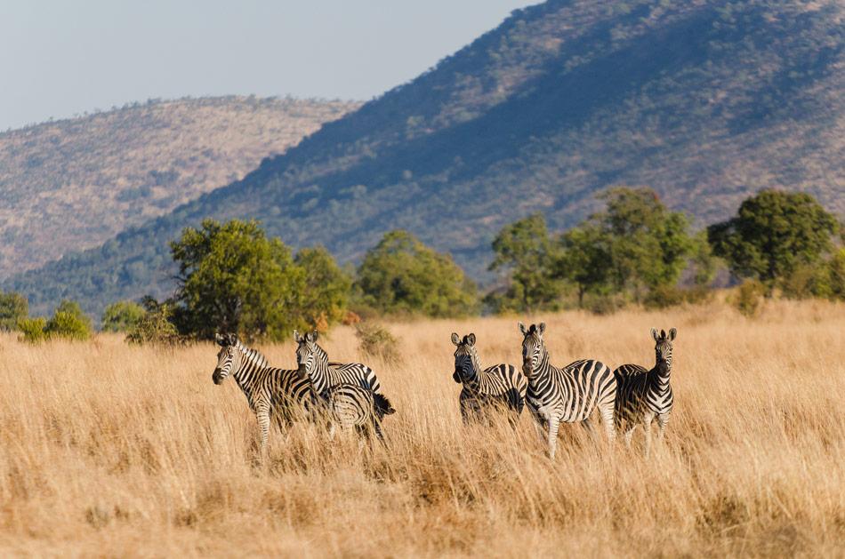 Zebra Pilanesberg Zuid Afrika