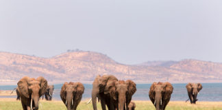 olifanten Lake Kariba Zimbabweolifanten Lake Kariba Zimbabwe