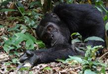 Chimpansee Tacugama Sierra Leone