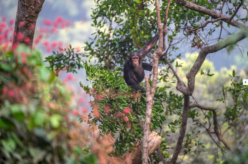Chimpansee Tacugama chimpanzee sanctuary