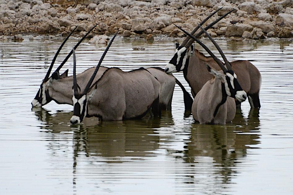 Gemsbok Etosha Namibië stunningtravel