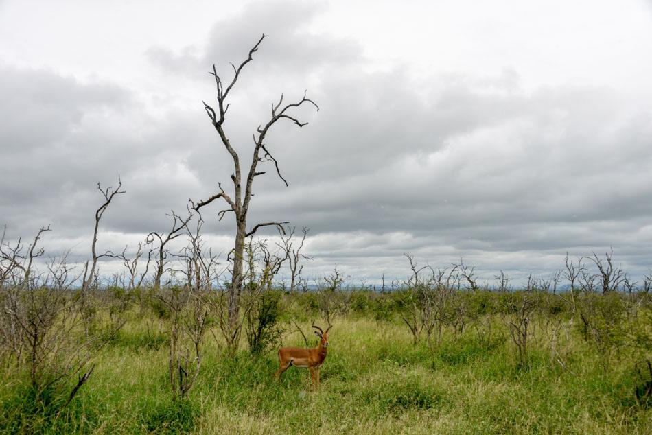 Impala Hlane Swaziland