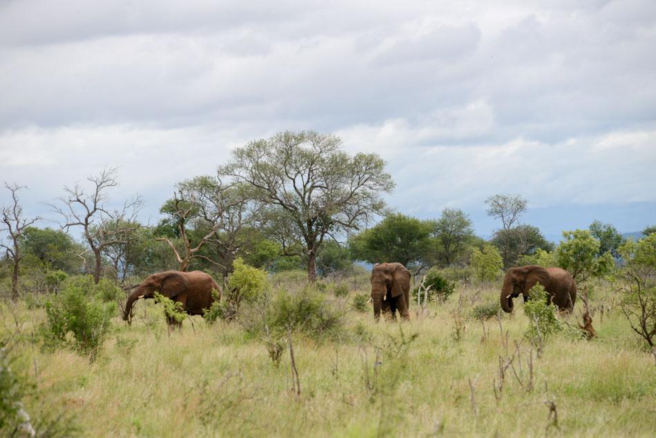olifanten in Hlane Swaziland