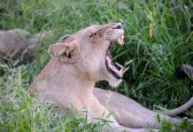 Leeuw Hlane Swaziland