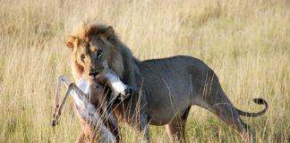 Leeuw Etosha Namibië Stunningtravel