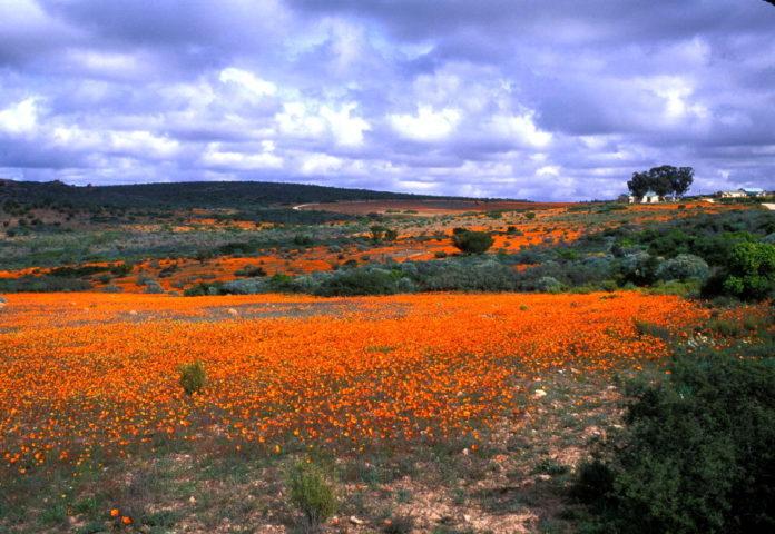 Namaqualand bloemen