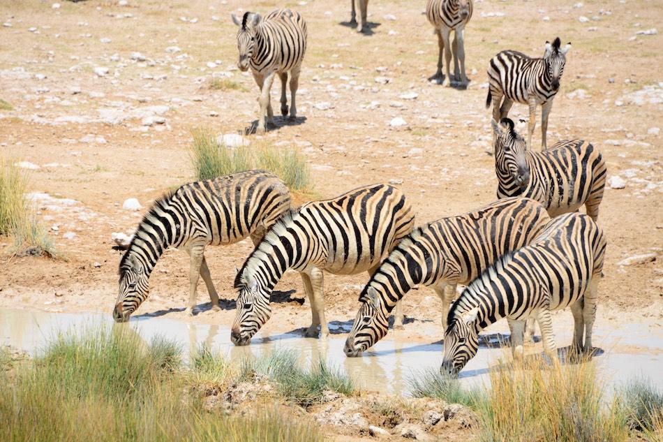 Zebra Etosha Namibie stunningtravel