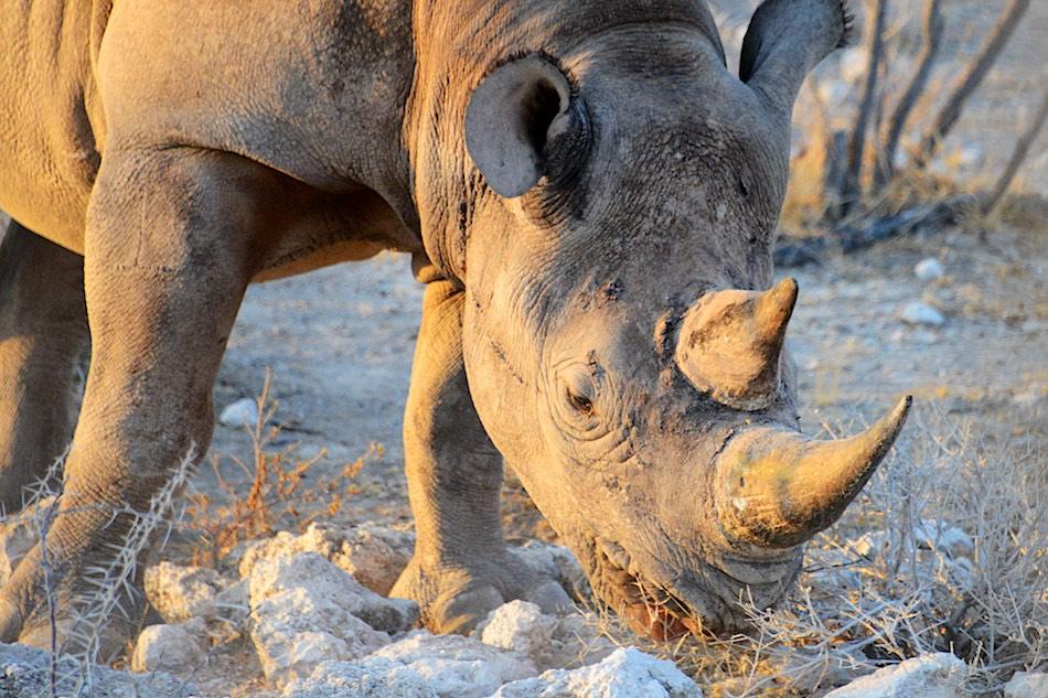 Zwarte neushoorn Etosha Namibie stunningtravel