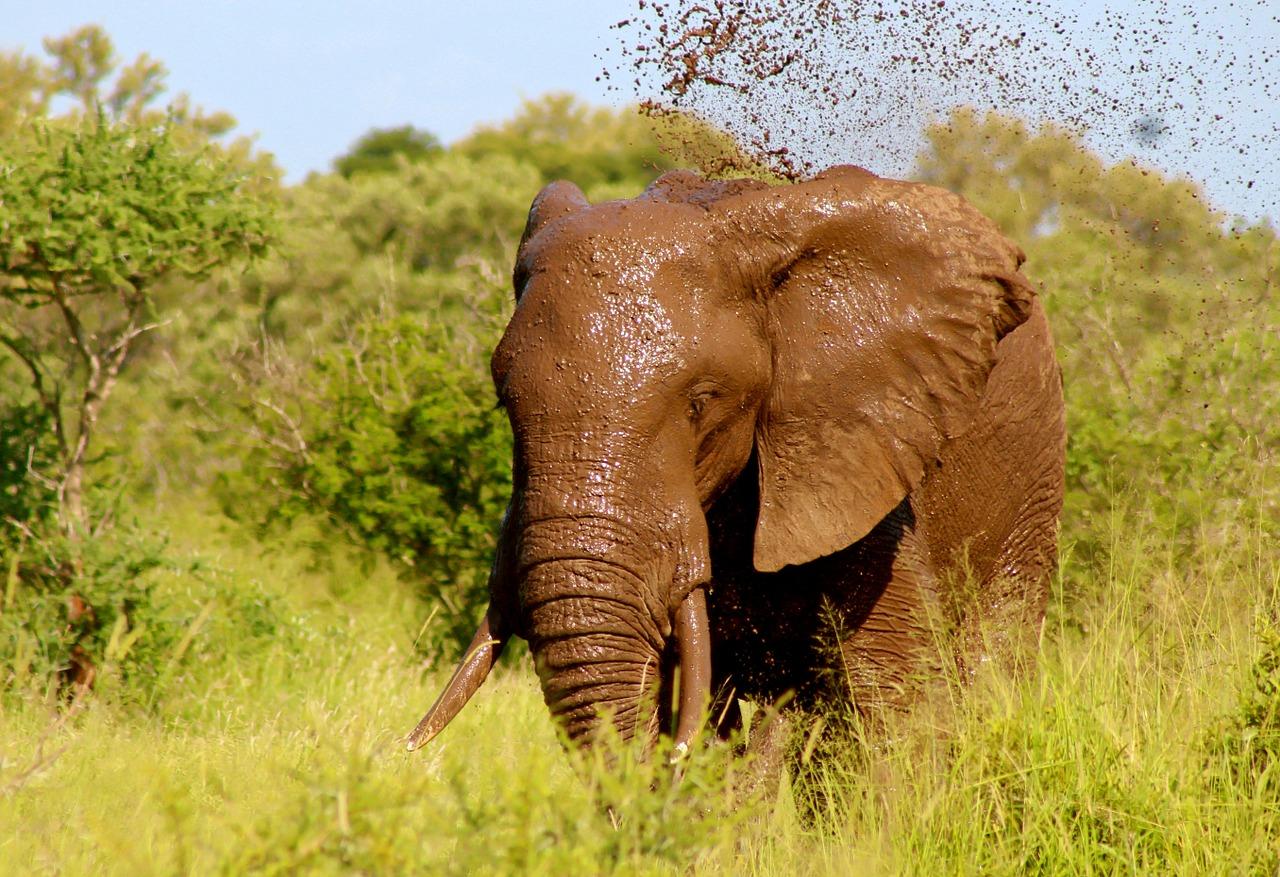 Liwonde Malawi Olifant