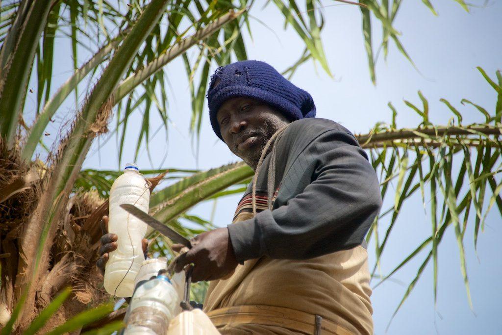 palmwijn tapper Niafarang Senegal
