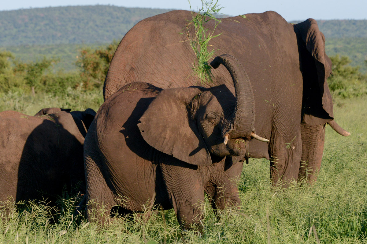 Krugerpark Zuid Afrika Olifanten