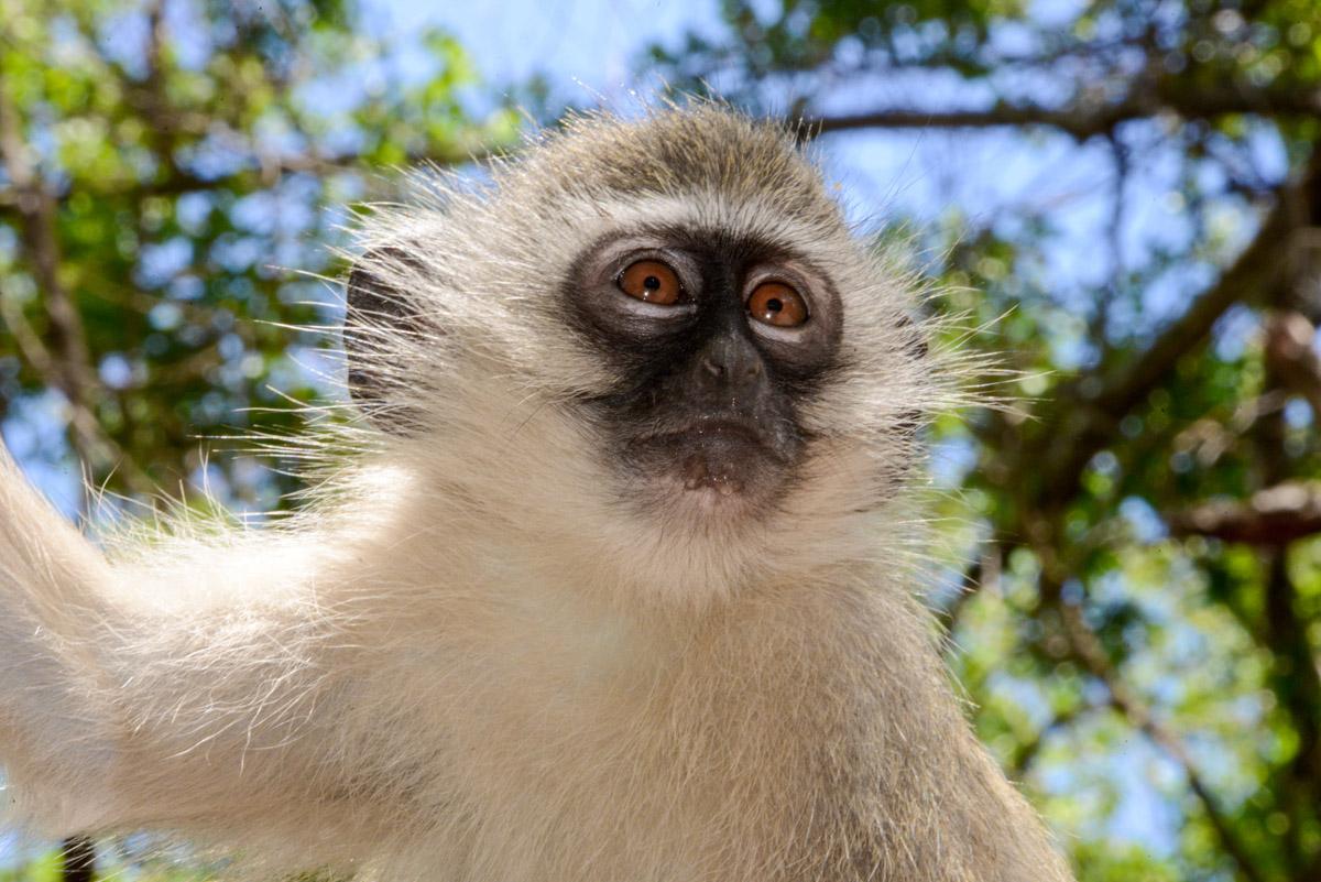 Krugerpark Zuid Afrika aap