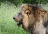 Krugerpark Zuid Afrika leeuw