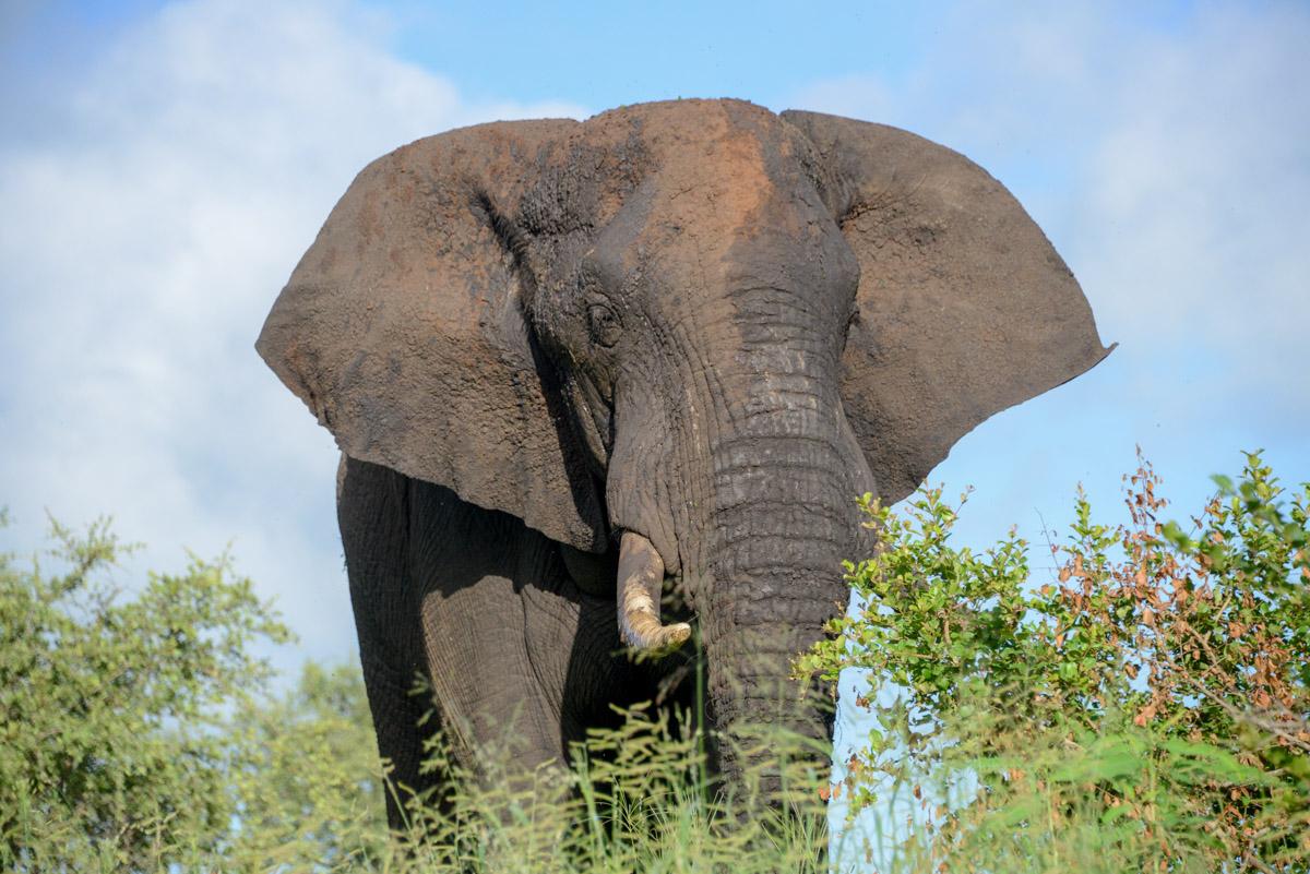 Krugerpark Zuid Afrika olifant