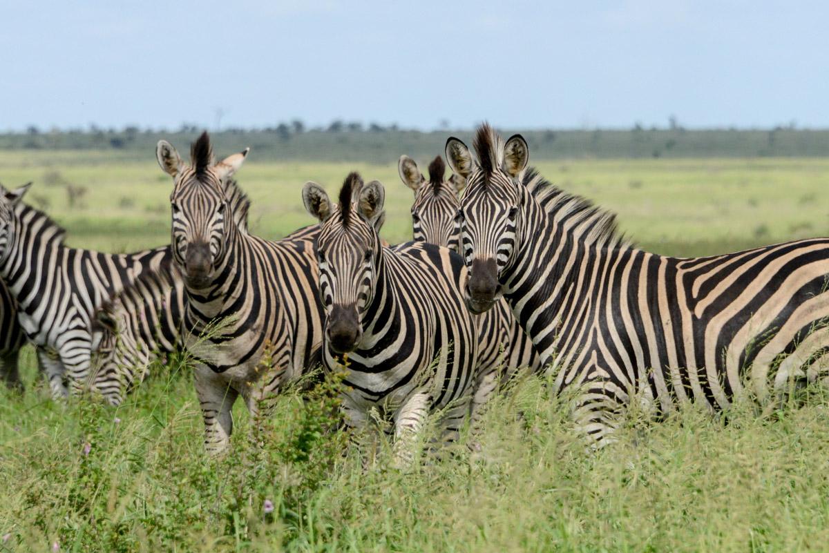 Krugerpark Zuid Afrika zebra