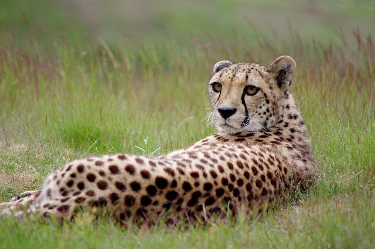Cheeta Kafue Zambia