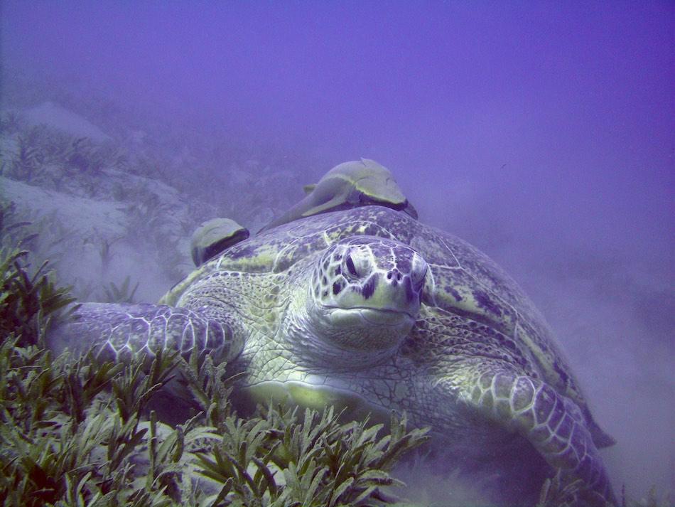 Marsa Nakari Egypte schildpad